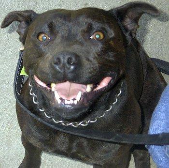 Staffordshire Bull Terrier Trinket.JPG