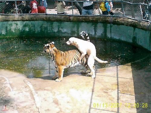 perrro+tigre.jpg